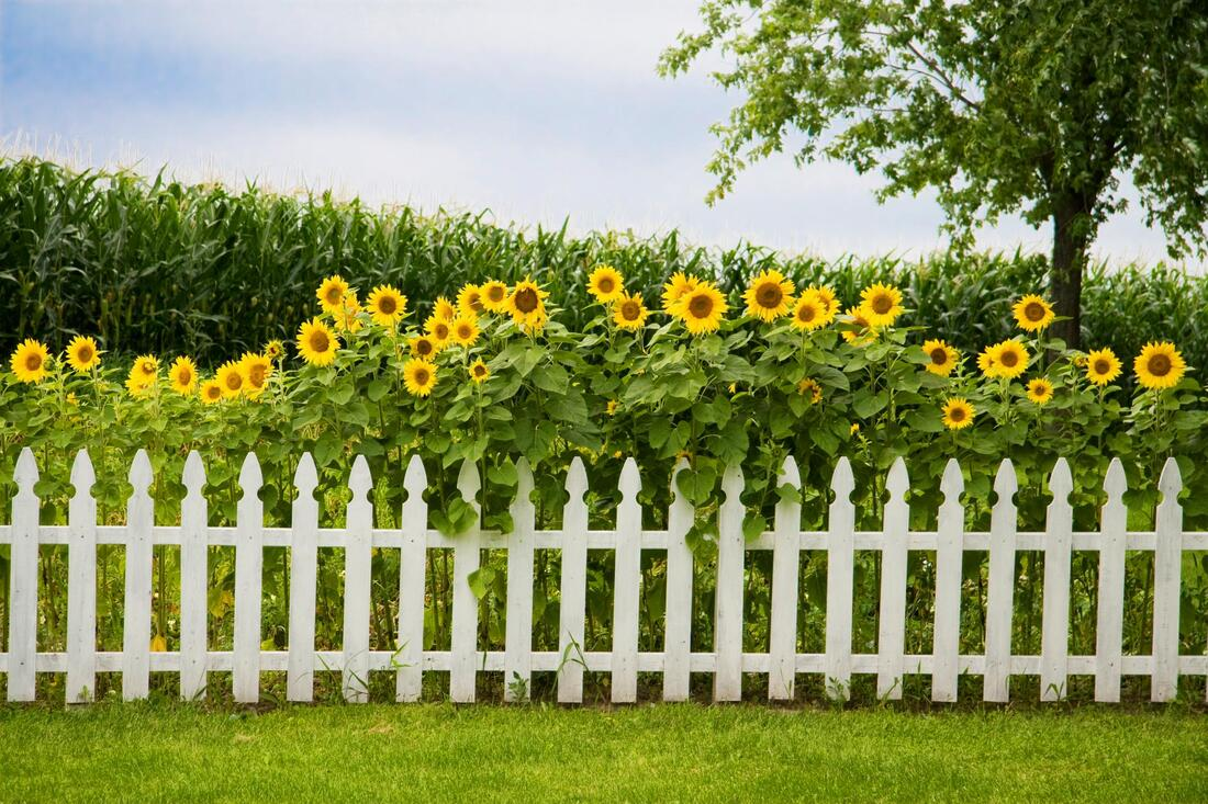 a sunflower with vinyl fence